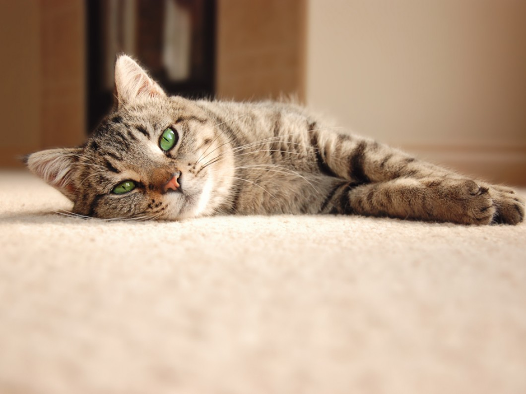 Pet Stains | Stain Resistant Carpet | Orange County Carpet Installation Service Provider
